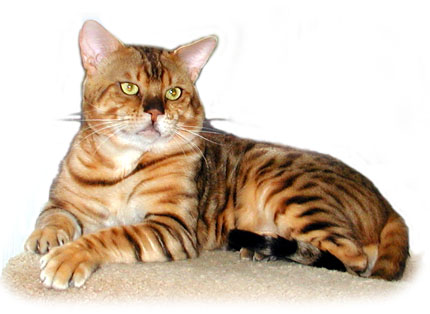 Ewan is the epitome of masculine, powerful, athletic, muscular Bengal males - however, he also happens to be a teddy bear!!