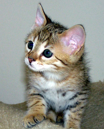 Lovely white tummied female Savannah kitten from Foothill Felines, Bengal and Savannah breeder in California