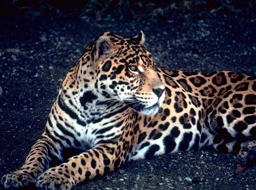 Gorgeous jaguar laying outside