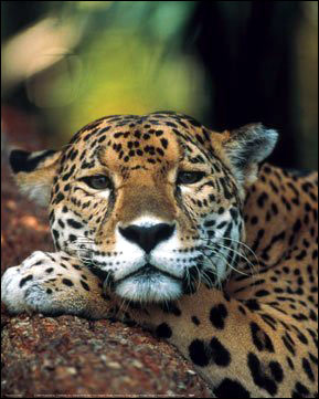 Jaguar Photographic Print - one of many awesome pieces of wall art here - Welcome to HDW's On-Line Big Cats Poster Store!