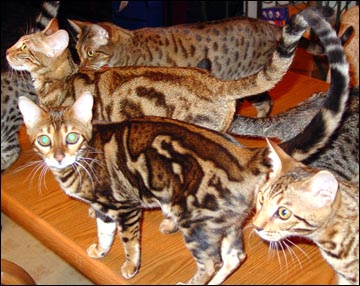 This marble female bred by Holly Webber is a tri-colored marble Bengal with incredible contrast - she has spots within her marbling pattern!