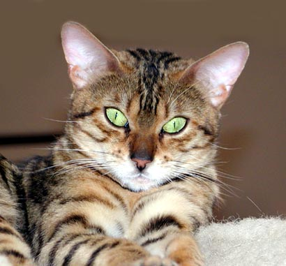Adorable MaiTai of Foothill Felines Bengals, a rosetted Bengal female!!
