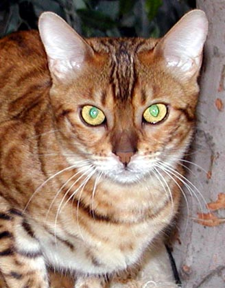 Mandolin Rain is the epitome of powerful, beautiful, muscular Bengal cats!!