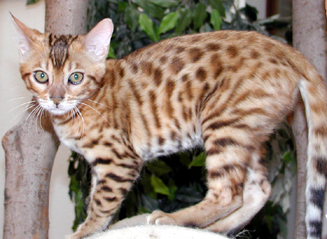 Foothill Felines Mandolin Rain, a hot colored Bengal female