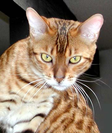 Foothill Felines Bengal kitten with rufousing, glitter, pelt, clear coat, and great health!!