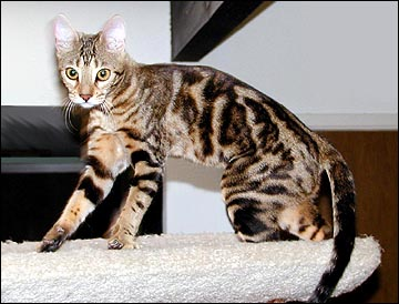 Black And Whit Savannah Cat