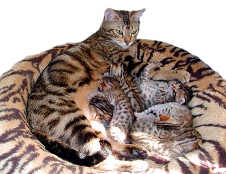 Foothill Felines Bengal kittens with rufousing, glitter, pelt, clear coat, and great health!!