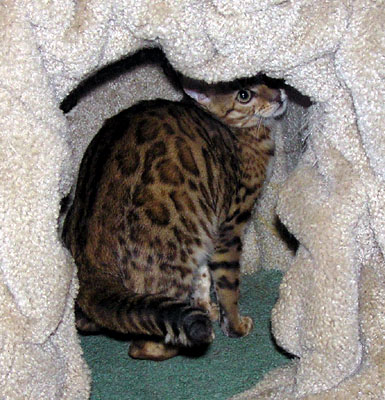 This is a playful Foothill Felines rosetted Bengal female kitten!!
