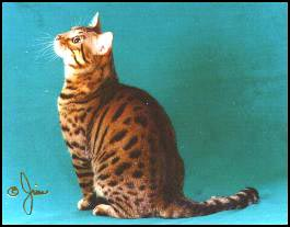 Maverick - an incredible spotted Bengal with glitter, huge black rosetted spots, and extremely muscular body type and random spotting pattern, in professional photo by Jim Brown.