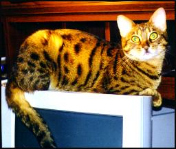photo of Foothill Felines Merlot, a highly glittered Bengal