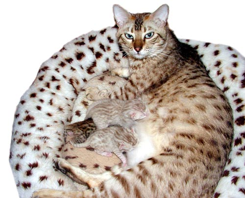 Beautiful seal mink spotted rosetted snow Bengal queen Foothill Felines Mochamelo with aqua eyes