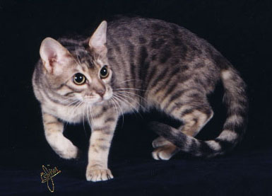 Foothill Felines Moodie Blue, a dilute colored Bengal female. Blue is the 