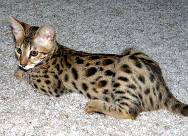 Foothill Felines Patticakes, a high percentage F3 brown spotted