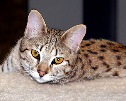 Sandy Spots is the epitome of powerful, athletic, large, muscular Savannah cats - however, she also happens to be a teddy bear!!