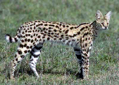the spotted serval cat from africa wild cat in