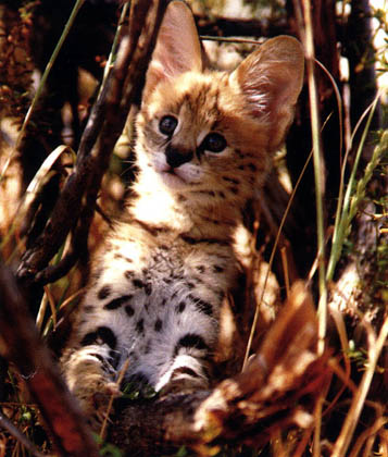 African Servals are powerful, athletic, lean, muscular cats who are very friendly towards humans!!