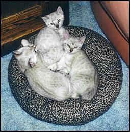 photo of Marshamelo's three spotted lynx point daughters