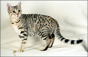 Summer Spots at 4 months - our fourth Savannah here!! She's a lovely Savannah and her ancestor is a full African Serval!!