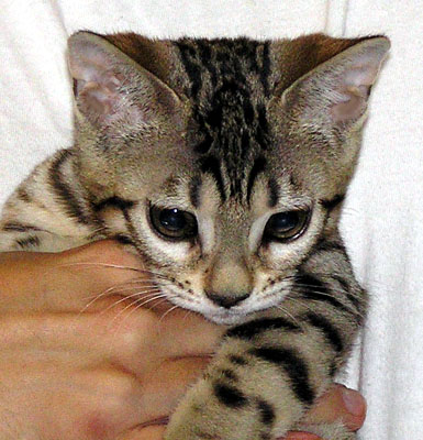 toy bengal kittens in ohio