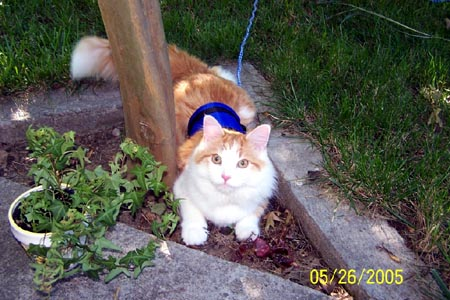 Happy Kitten Modeling Blue Cat Walking Jacket Special Harness for Leash Training Your Kitty!