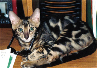 Ramses, a gorgeous, top quality marble Bengal male, at 7 months old!