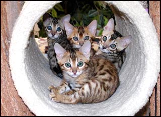 Vida Mia and Peyote's beautiful kittens at 10 weeks old, part of Foothill Felines Bengals breeding program!