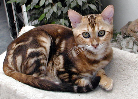 One of Vida Mia's gorgeous marble Bengal males, at 3 months old!