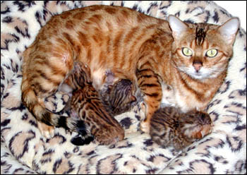 Bengal Kittens Leopard Spotted Rosetted Golden Bengal