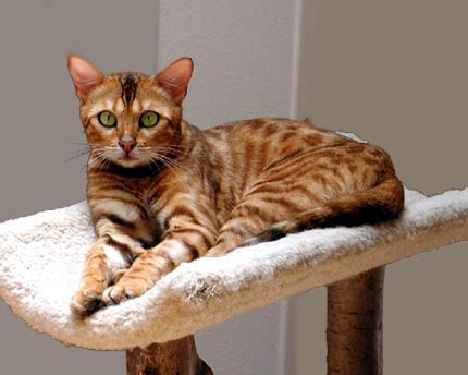 Vida is the epitome of feminine, powerful, athletic, muscular Bengal females - and she was a wonderful mother!!