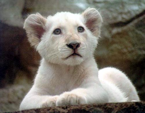 A young white male lion