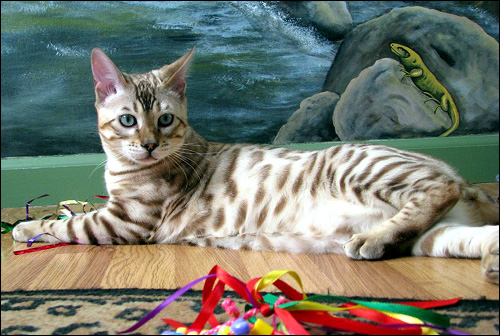 Hampton Yukon of Foothill Felines, with defined shaded rosettes, glitter, a clear coat, and wild head and profile.  He is a breathtaking seal mink
